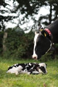 Neugeborenes Kalb mit Kuh © Maren Kuiter