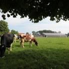 Kühe mit Stall im Hintergrund © Maren Kuiter