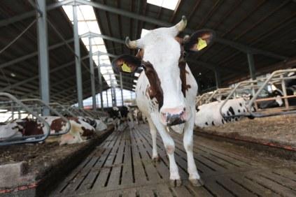 Kuh im Boxenlaufstall © Maren Kuiter