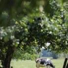 Kuh zwischen Bäumen © Maren Kuiter