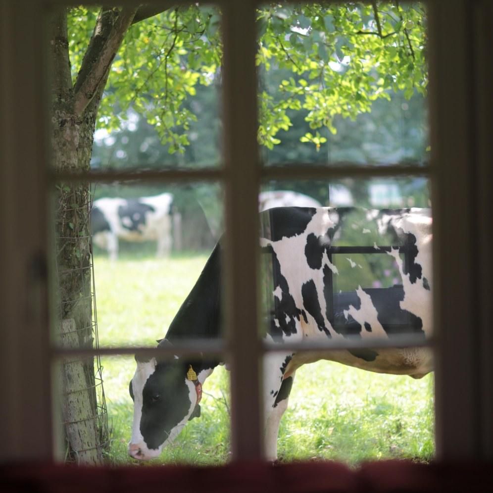 Kuh durch Sprossenfenster © Maren Kuiter