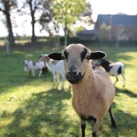 neugierige Schafe begrüßen uns