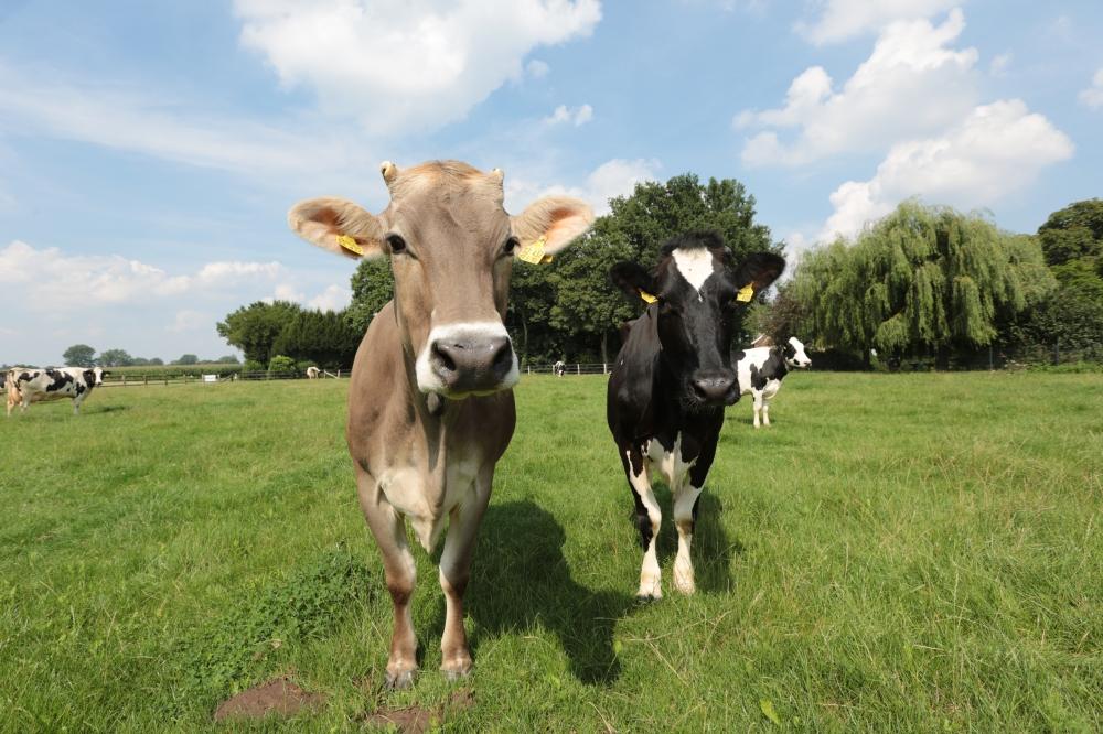 Kühe auf der Weide (2)