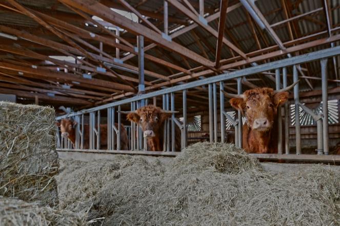 Die hofeigenen Rinder