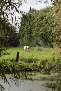 Kühe auf der Weide mit Wassertümpel