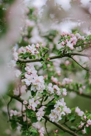 die Kirschblüten in Beckum