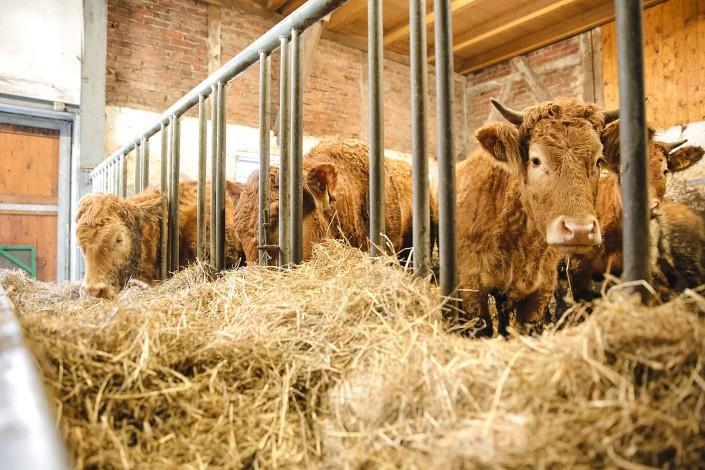 Die Rinder stehen im Winter im Stall