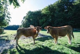 die Tiere fühlen sich sichtlich wohl auf der Weide