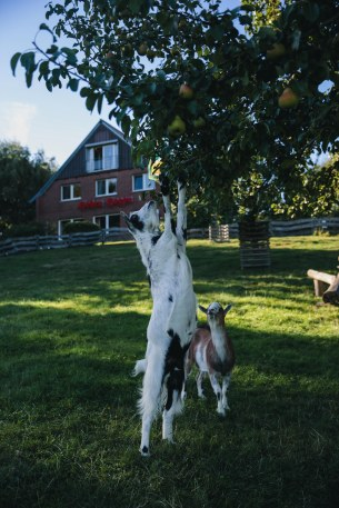 Die Ziegen lieben die Obstbäume, kommen aber in den seltensten Fällen an die Früchte