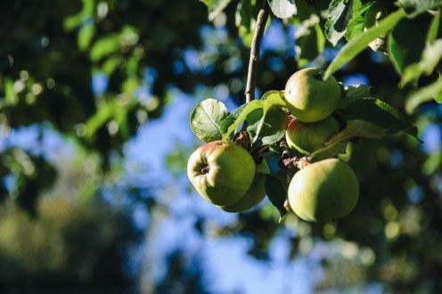 Äpfel und alle anderen Obstsorten werden zu eigenem Schnaps verarbeitet