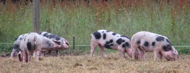 ...kann man die Bunten Bentheimer Schweine beobachten.