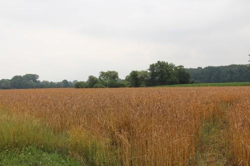 Das Dinkelfeld kurz vor der Ernte