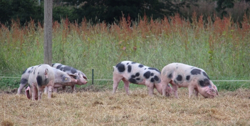 Bunte Bentheimer Schweine vom Hof Schulze Westerhoff